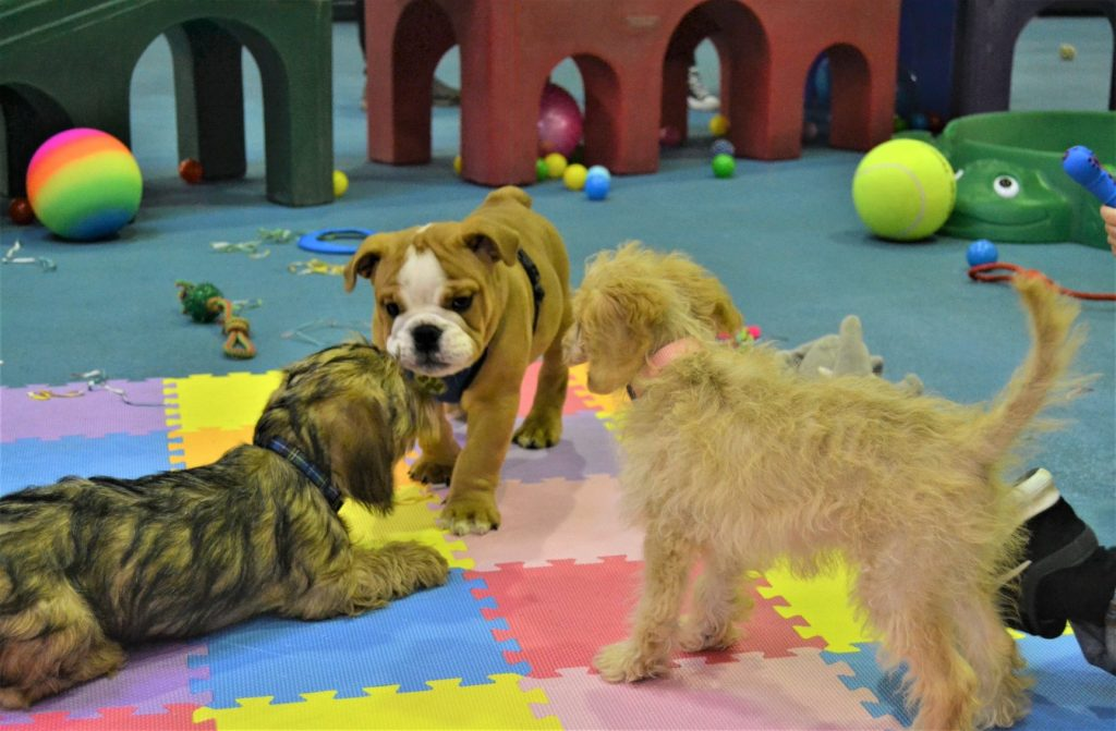 Puppy party, Needham Canine Adventures, Ipswich